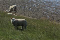 Sheep, a lot of sheep