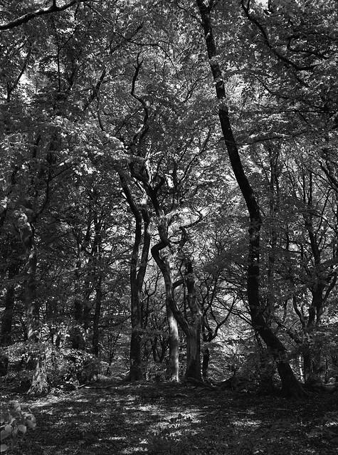 Forkrøppet træ i Troldeskoven
