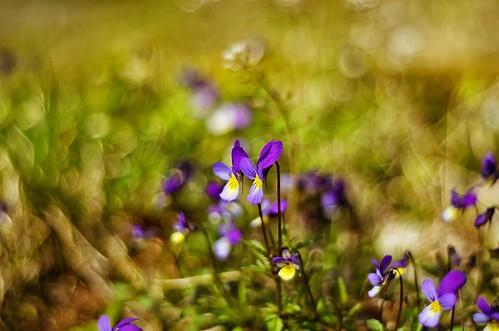Viola tricolor by Stefano Rugolo
