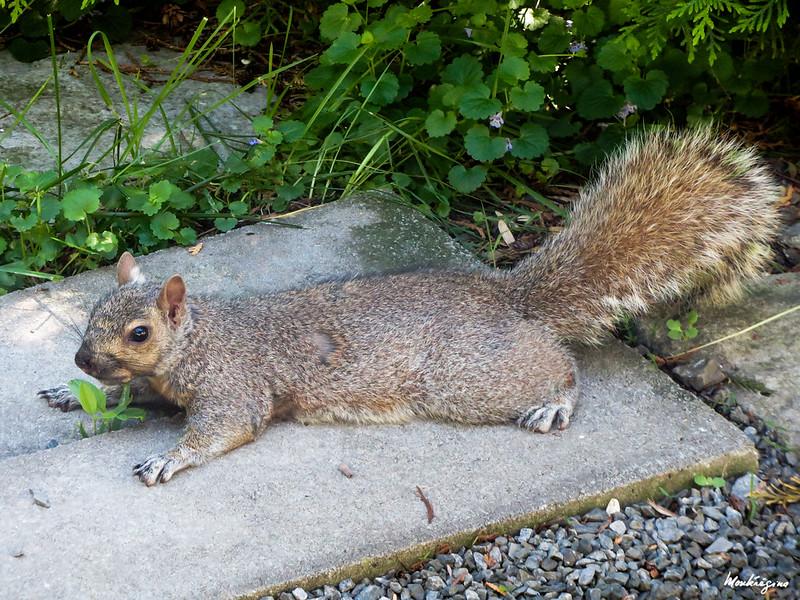 Lazy squirrel - Écureuil paresseux