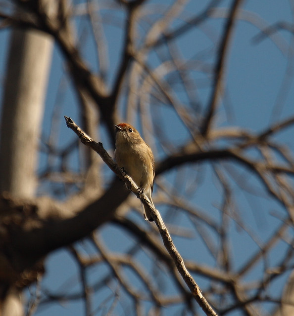 Female Red Capped Robin