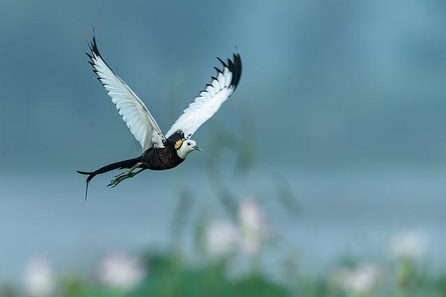 Pheasant-Tailed Jacana (Hydrophasianus Chirurgus) Flying
