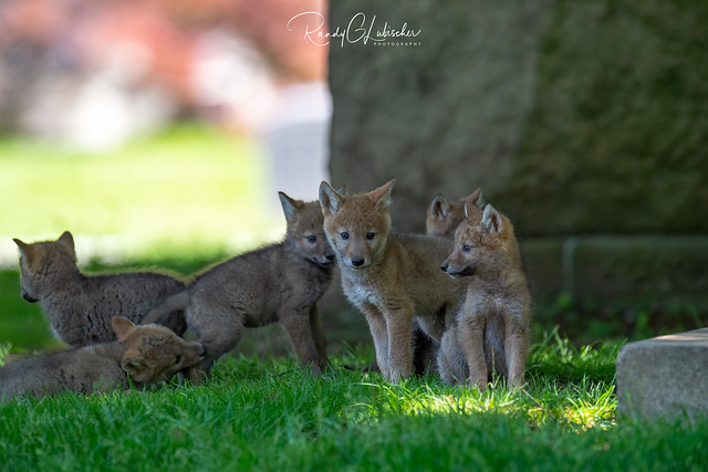 Eastern Coyote - Canis latrans var | 2020 - 3