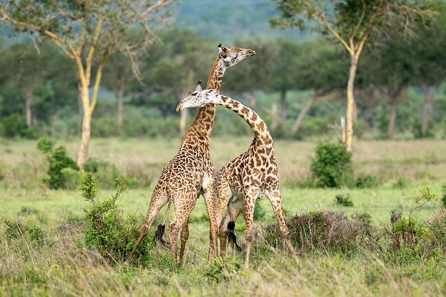 Two masai giraffe (Giraffa tippelskirchi) fighting