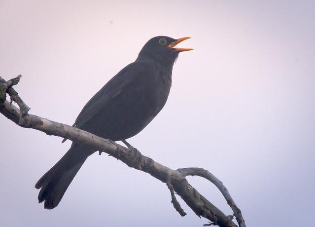 Evening singer