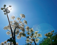 Cow Parsley lens flare