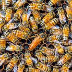 DSC_0033,女王在中間,蜂王在中間,蜂群護衛,蜂王,蜂后,蜂箱,養蜂,蜜蜂,昆蟲,生態,蜂蜜,農場,農業