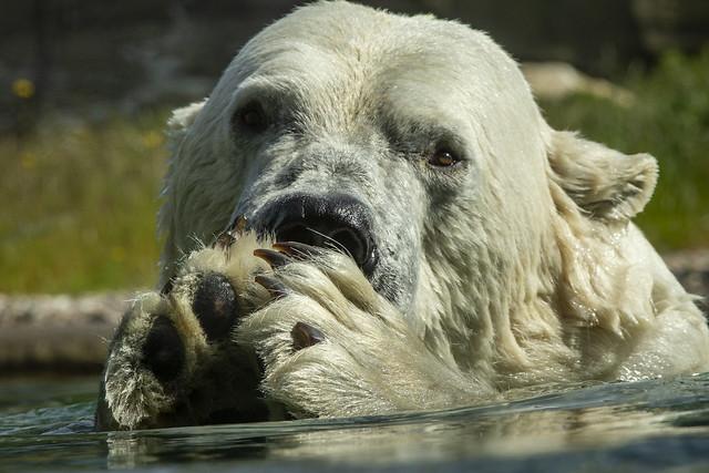 Eisbär - störe mich nicht beim essen 😂😂