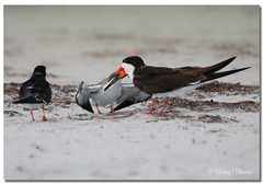 Hungry Baby Black Skimmer  With Mother