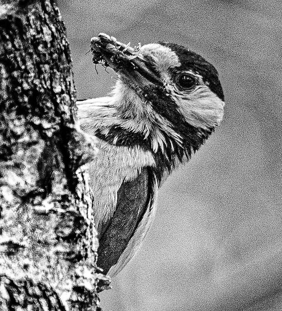 Great spotted woodpecker - coming with food for the chick
