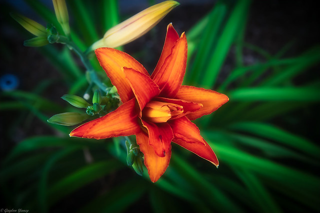 Daylily Morning Bloom
