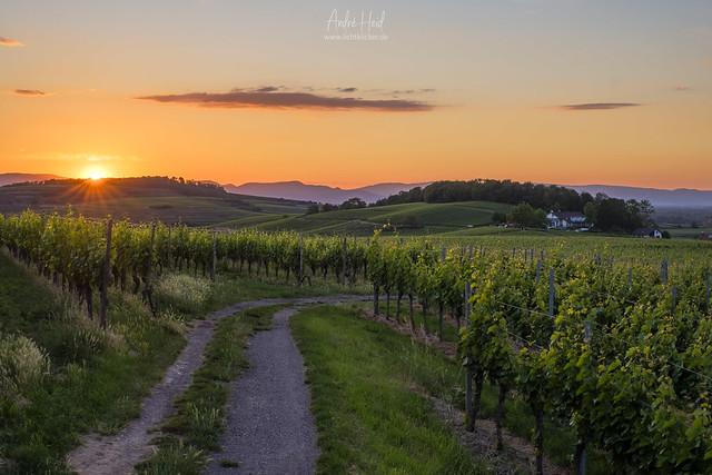 A walk through the vineyard...