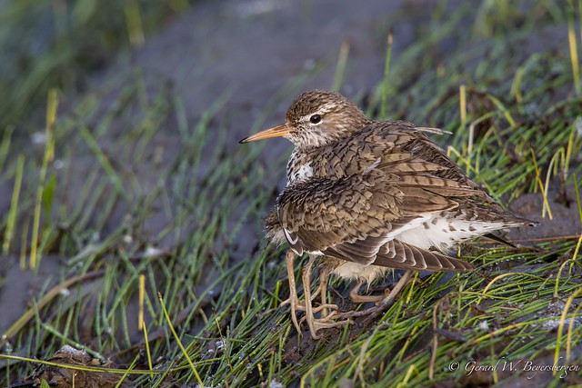 Spotted Sandpiper & Young