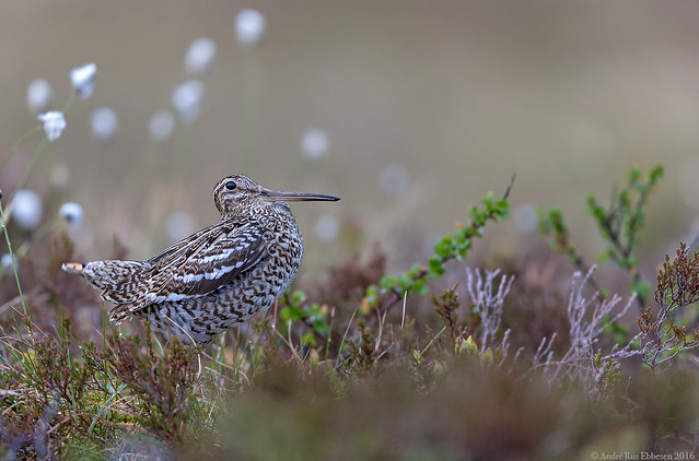 Great Snipe, Norway