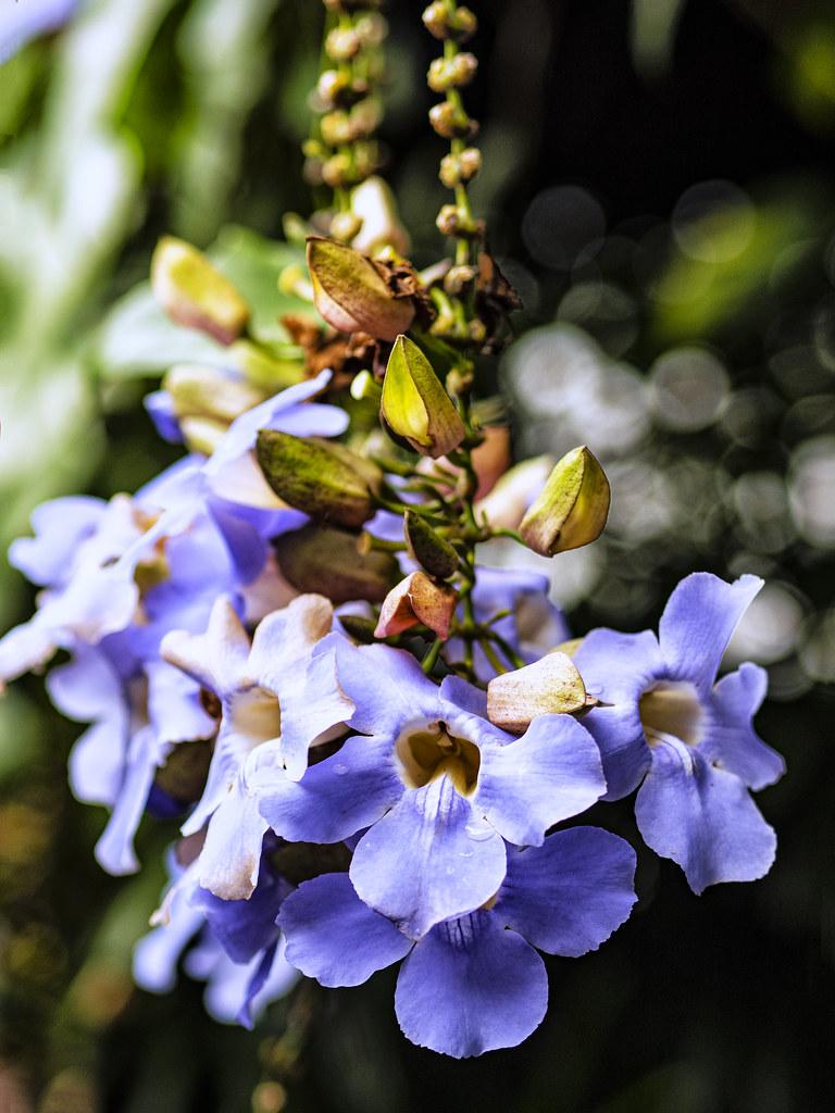 Thunbergia grandiflora n. 8