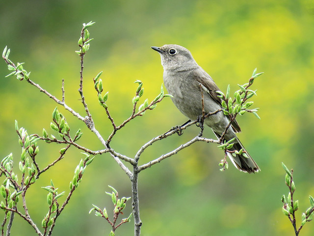 Townsend's Solitaire / Myadestes townsendi, May Species Count 2020