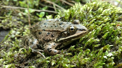 Columbia Spotted Frog (Rana luteiventris)