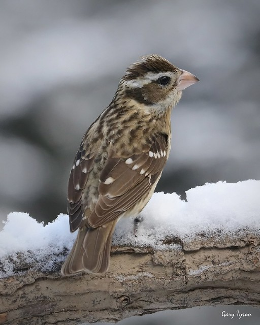 Rose-breasted Grosbeak (f)