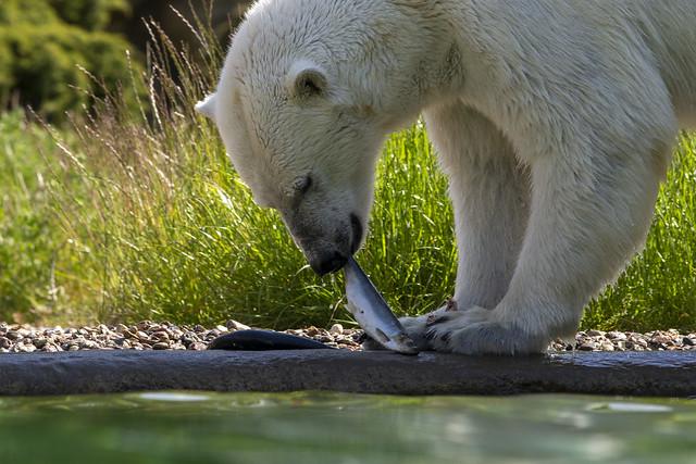 Eisbär - ein kleiner Snack....