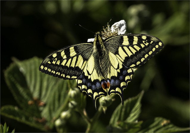Swallowtail Butterfly, Britains largest butterfly.