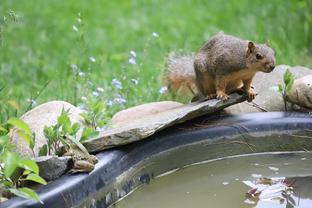 Backyard Red & Fox Squirrels (Ypsilanti, Michigan) - 153/2020 356/P365Year12 4373/P365all-time (June 1, 2020)