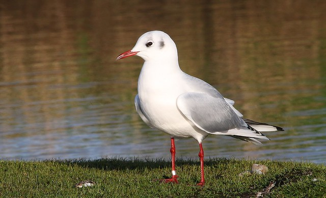 Black Headed Gull 100120