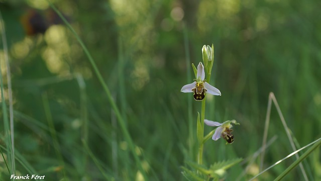 Ophrys Apifera - Pelouse des Montaillers - Montfort