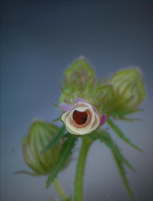 Fleur du Gombo