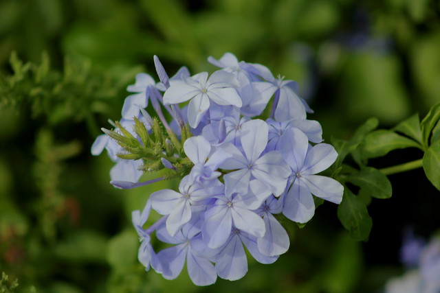 Plumbago auriculata, the cape leadwort, blue plumbago or Cape plumbago