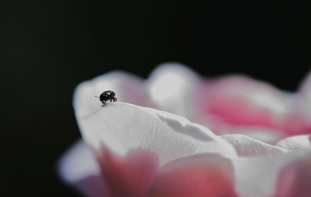 Insecte en équilibre sur un pétale de rose