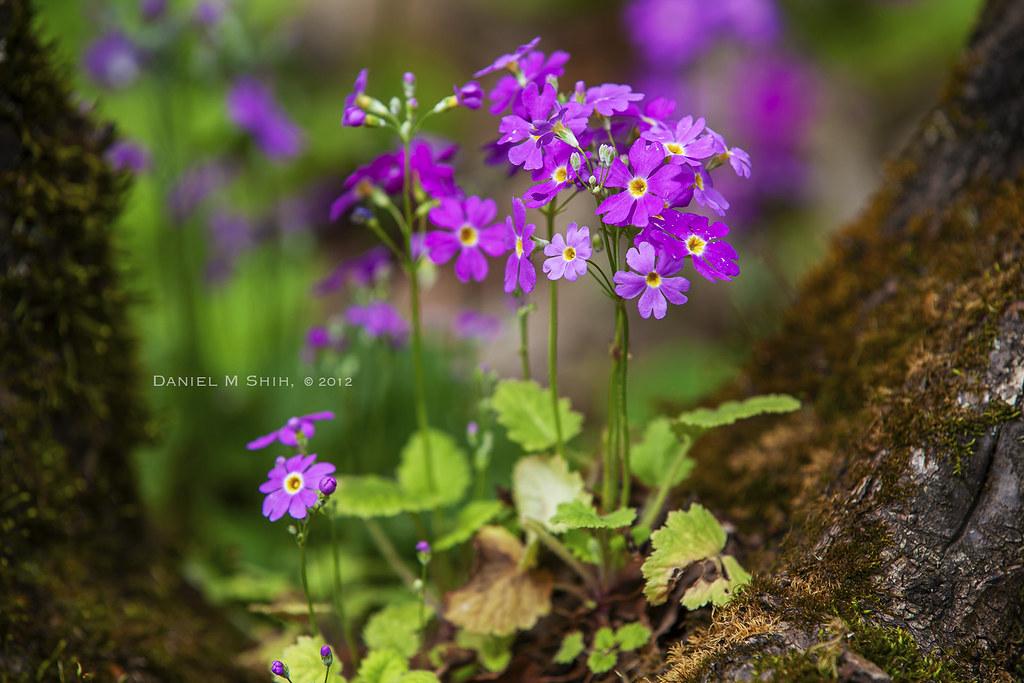 三葉草 紫花酢漿草 Oxalis corymbosa DC ,