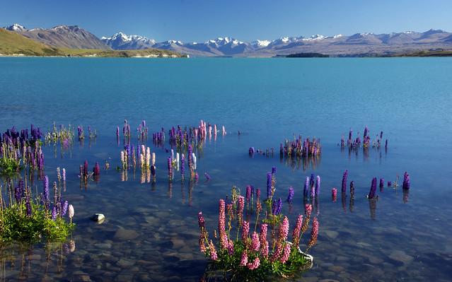 Spring. Lake Tekapo. NZ.