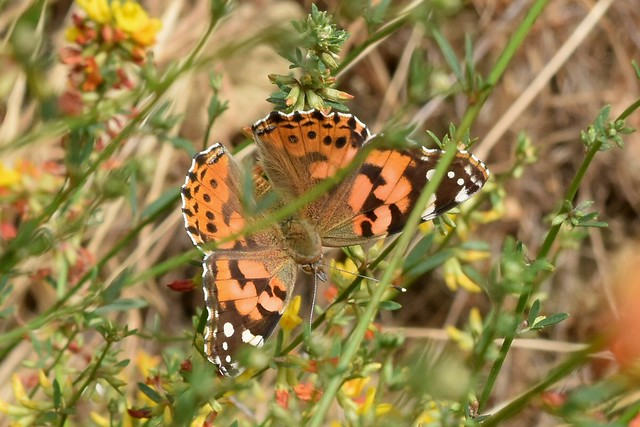 Newly emerged Painted Lady butterfly on Deerweed