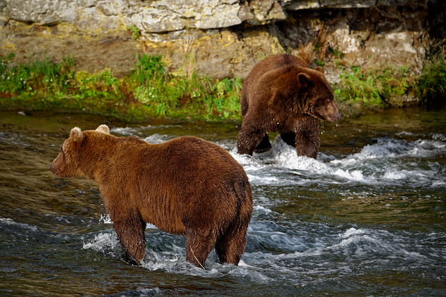 Brown Bears Hanging out While on a Search for Salmon in Brooks River (Katmai National Park & Preserve)