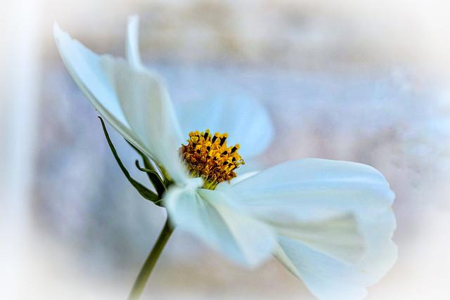 Rosenskära (Cosmos bipinnatus) är en art i familjen korgblommiga växter från sydvästra USA och Mexiko.