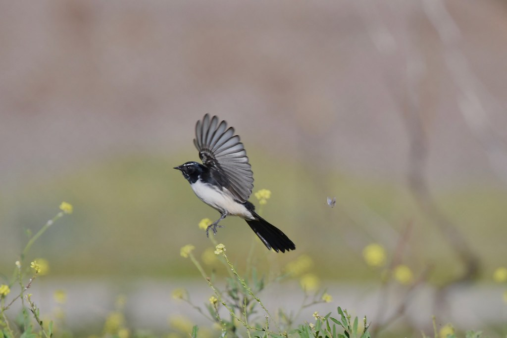 Willie Wagtail ( on the run )