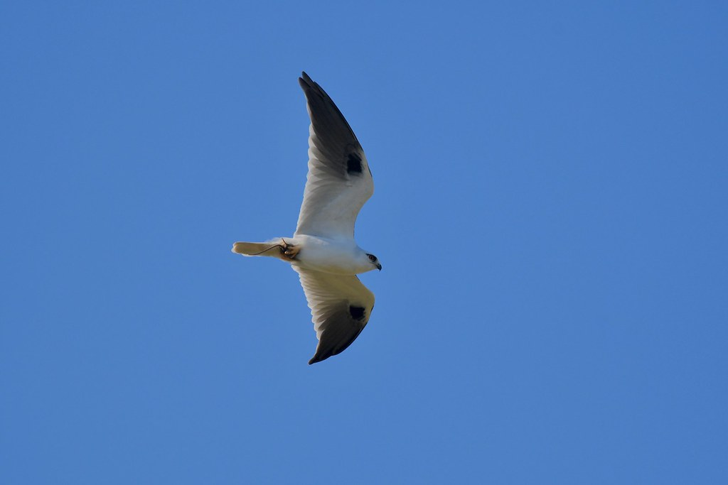 Black -Shouldered Kite ( Back with dinner )