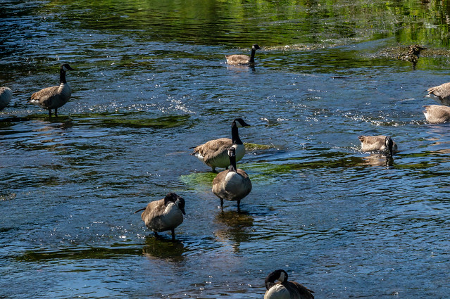 Geese on local river