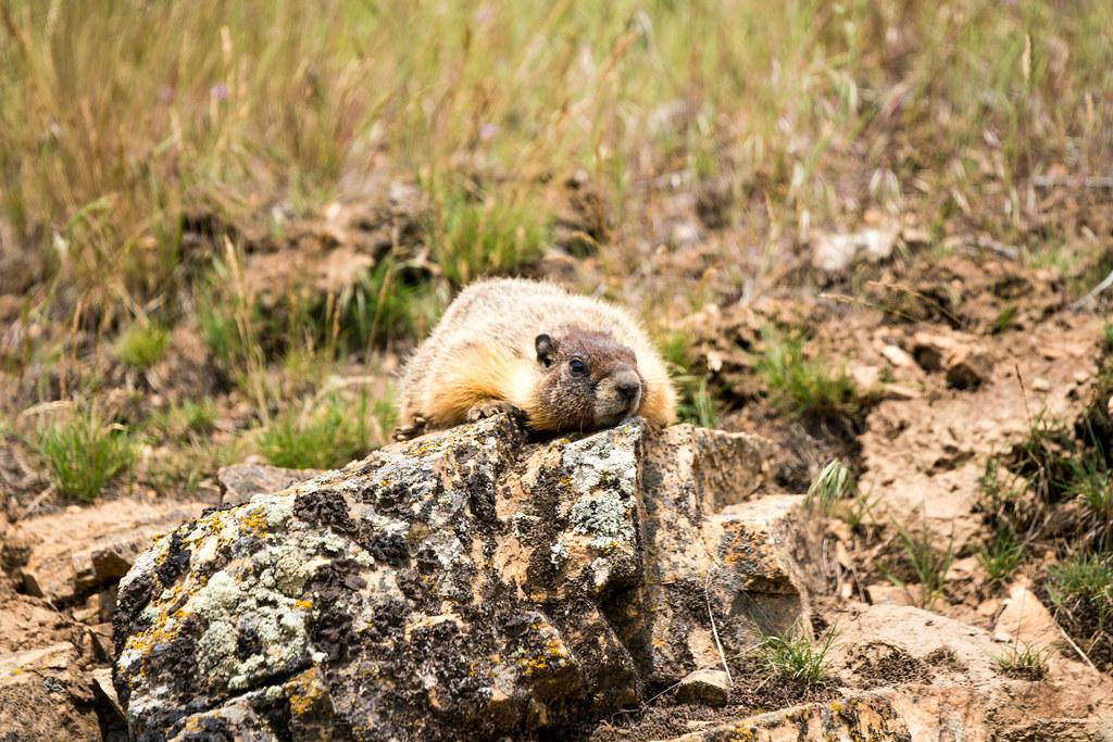 marmot (1 of 1)