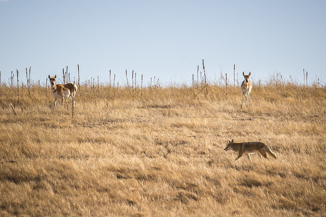Coyote and Pronghorn