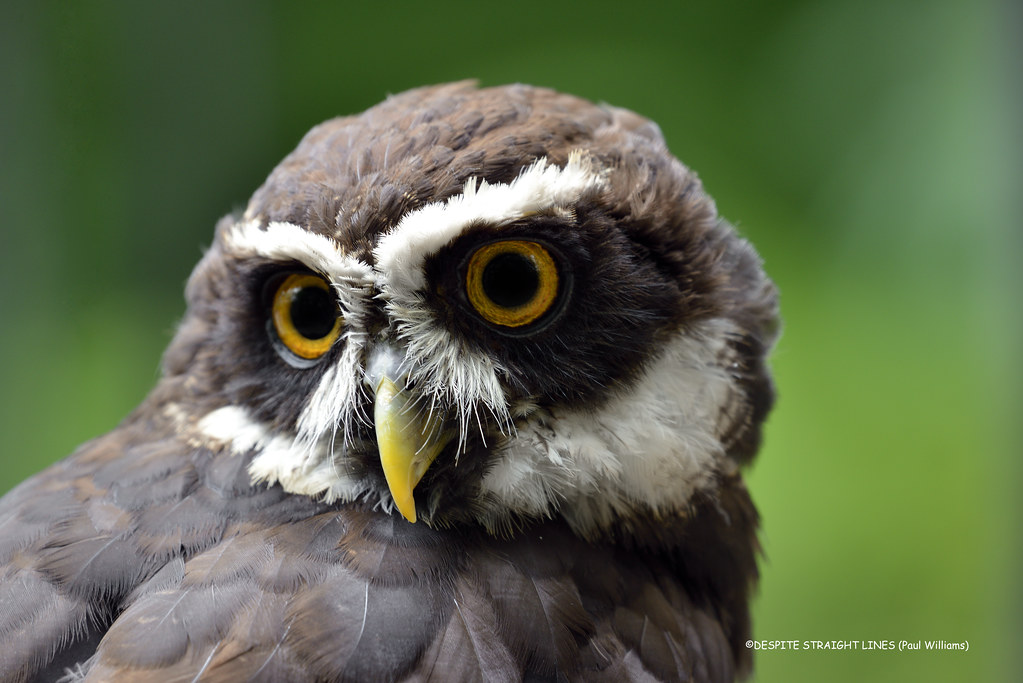 Spectacled owl (Pulsatrix perspicillata)  -  (Published by GETTY IMAGES)
