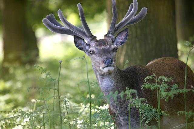 Summer Red Deer Stag