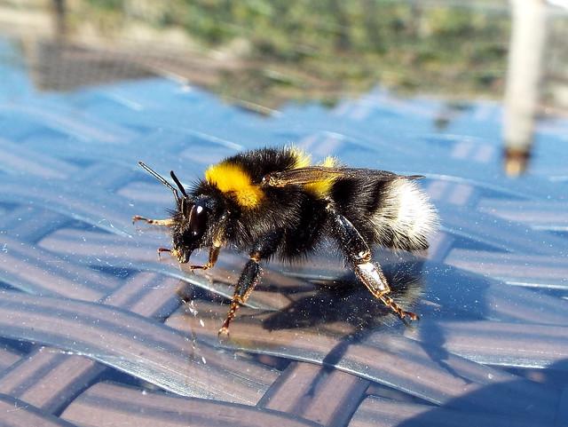 (61) Bee