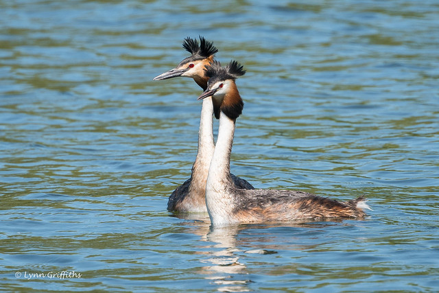 Great Crested Grebes 502_6840.jpg