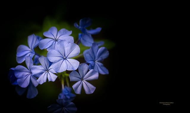Flores de Plumbago