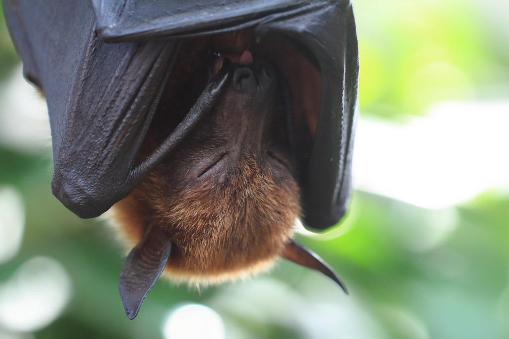 馬來狐蝠(Pteropus vampyrus)