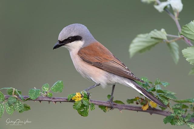 Alcaudón dorsirrojo / Red-backed shrike (Lanius collurio)