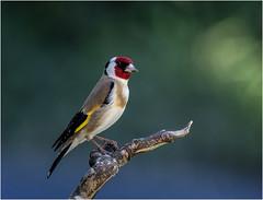 Goldfinch  (由  hisdream