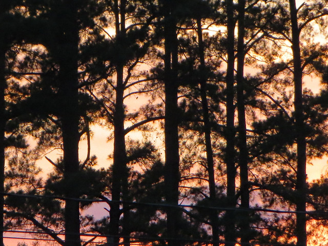 Sunset Through Tall Pines.