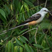 Scissor-tailed flycatcher-0441-Edit